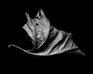 leaf in studio, black & white