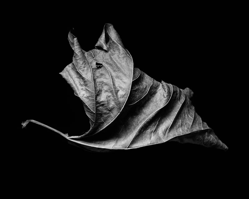 leaf in studio, black & white