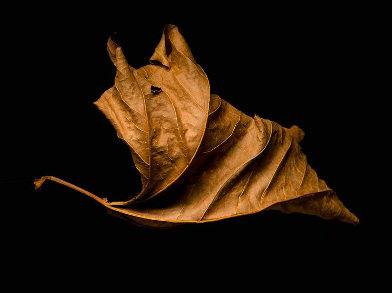leaf in studio
